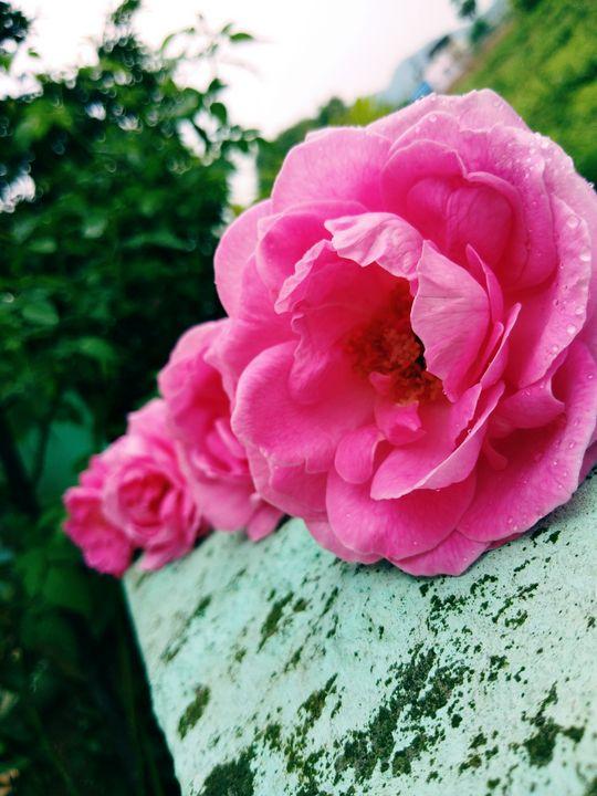 Roses - PAINTER RAJ