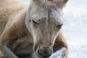 Kangaroo Whiskers