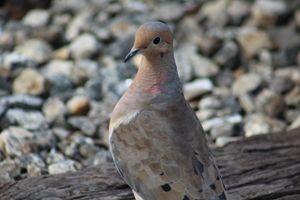Dove on the Tracks