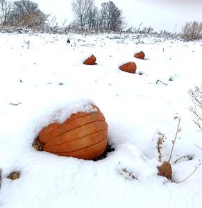 Pumpkins in snow