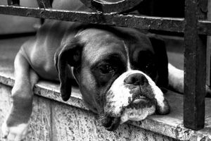 Boxer Dog On Windowsill