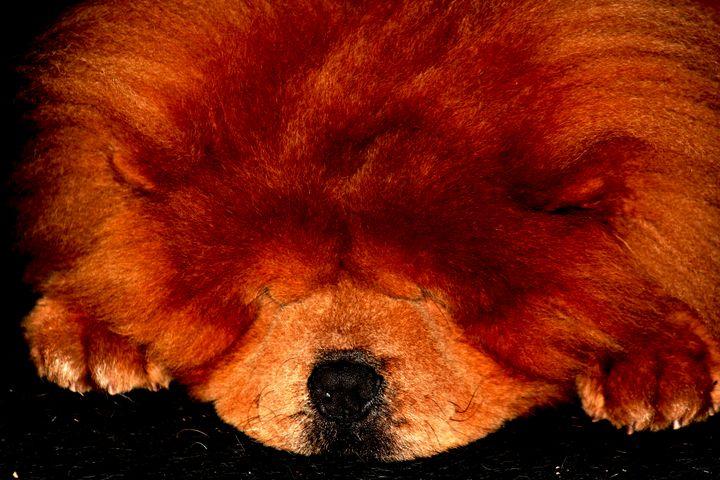 Sleeping Chow Chow - Alan Harman Photography