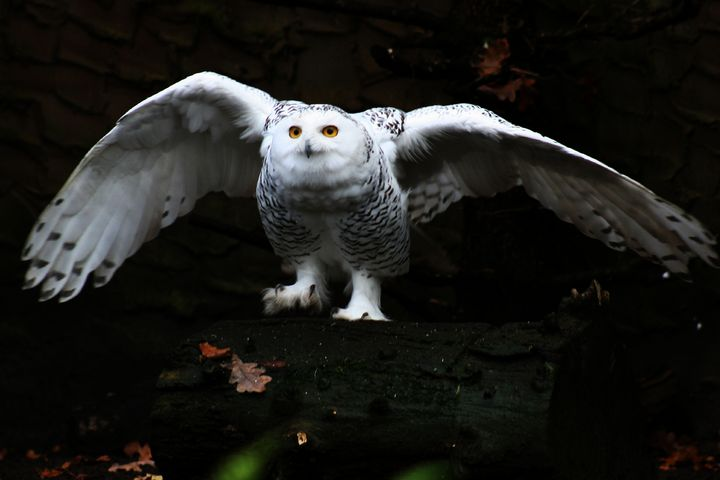 Snowy Owl With Open Wings - Alan Harman Photography