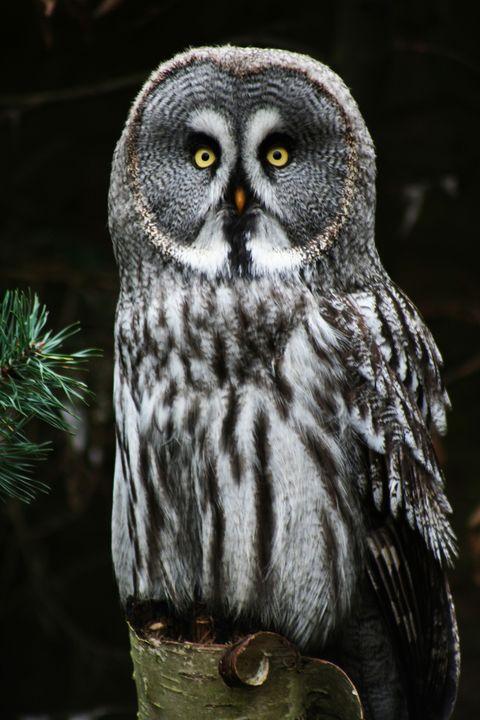 The Great Grey Owl - Alan Harman Photography