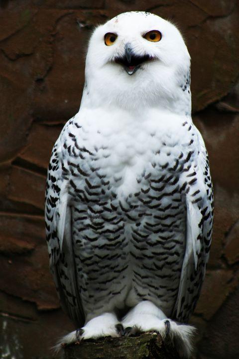Snowy Owl - Alan Harman Photography