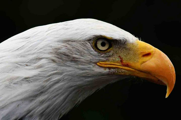 Bald Eagle - Alan Harman Photography