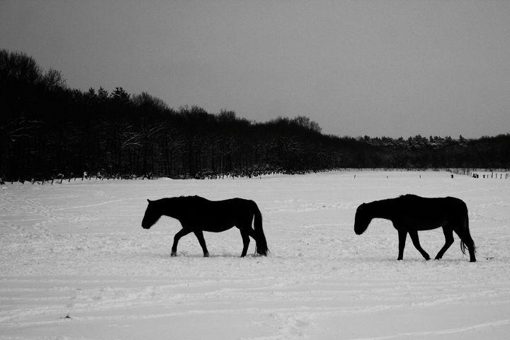 Horses On Snow - Alan Harman Photography