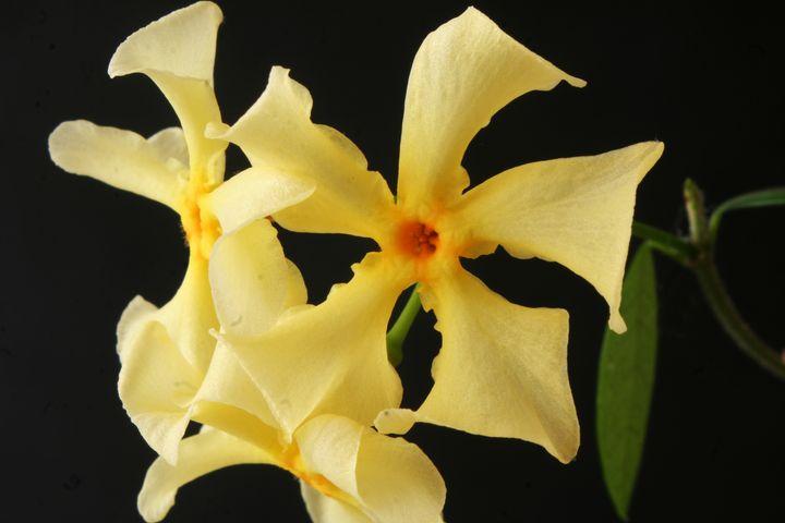 Star Jasmine Flower - Alan Harman Photography