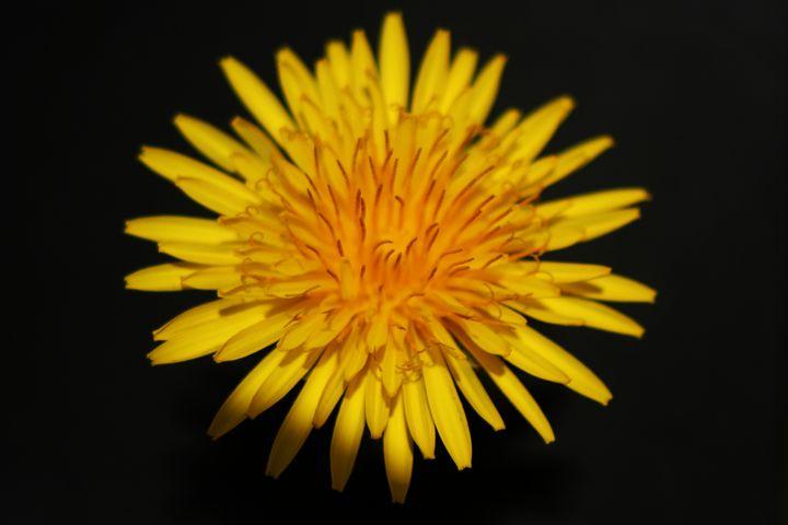 Dandelion Flower - Alan Harman Photography