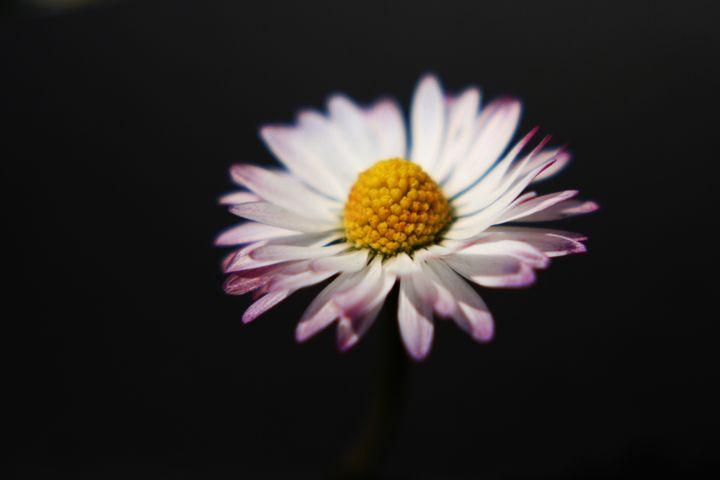 Common Daisy - Alan Harman Photography