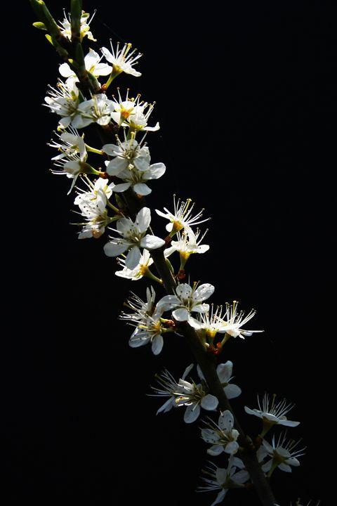 Hawthorn Flowers - Alan Harman Photography