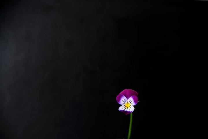 Violet Flower - Alan Harman Photography