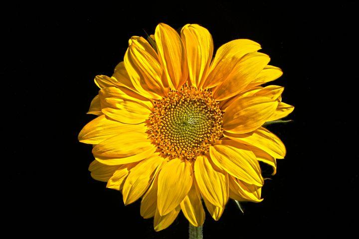 Sunflower - Alan Harman Photography