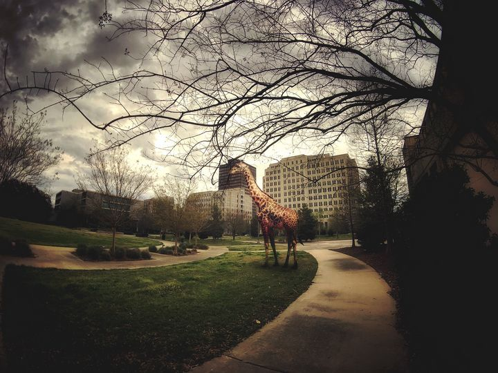 Giraffe in the park - Harold Jones