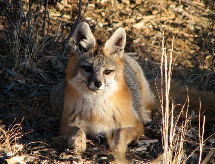 Fox at Sunset - Colorado Mountain Lifestyle