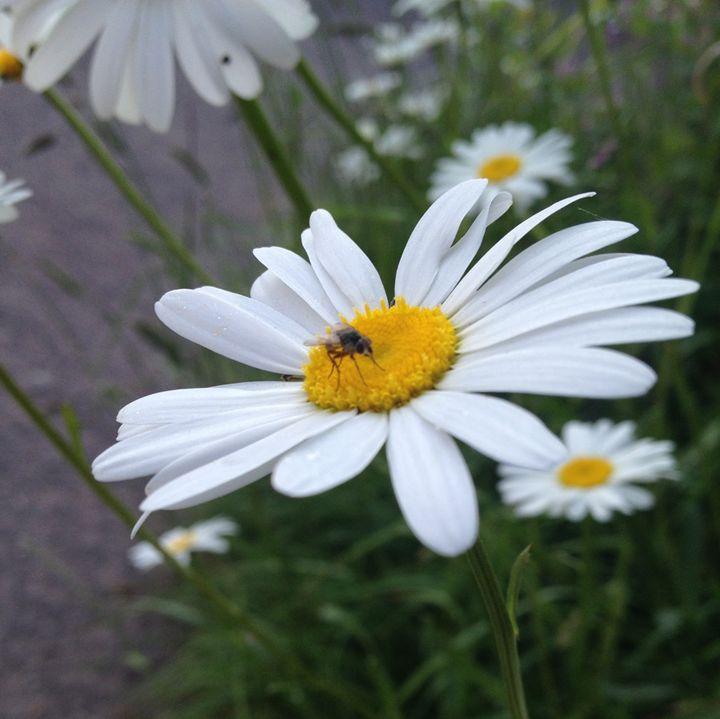 Fly on Daisy - Kallum Beck