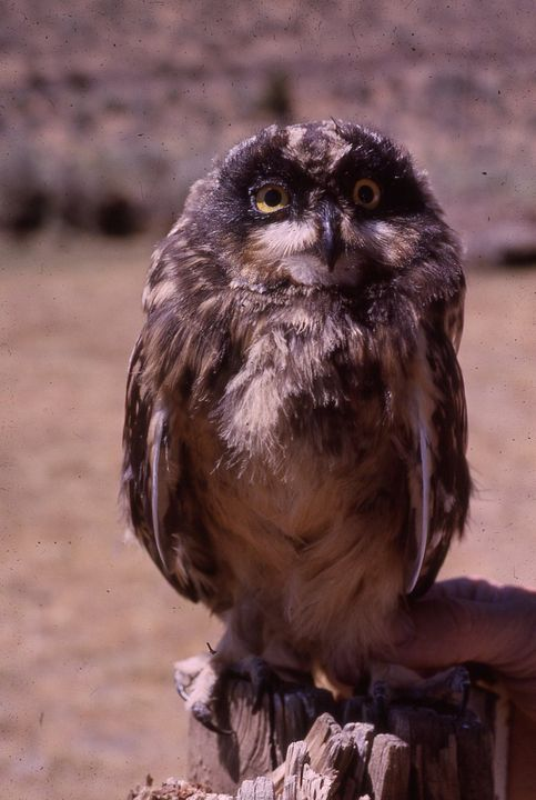 3448 Saw Whet Owl Steens Mountain OR - Pruitt Gallery