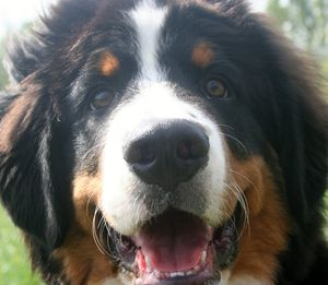 Bernese mountain Dog Rudy