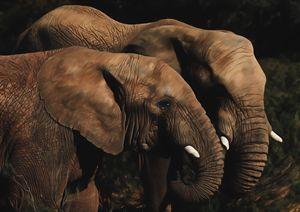 African Elephants
