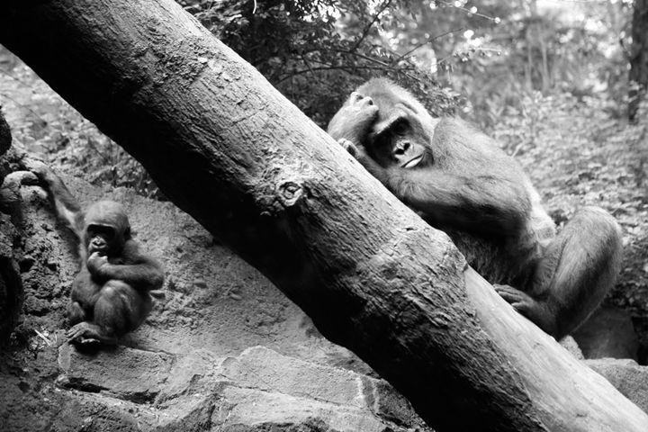 Apes - debchePhotography
