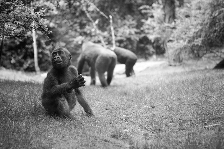 Baby Ape - debchePhotography