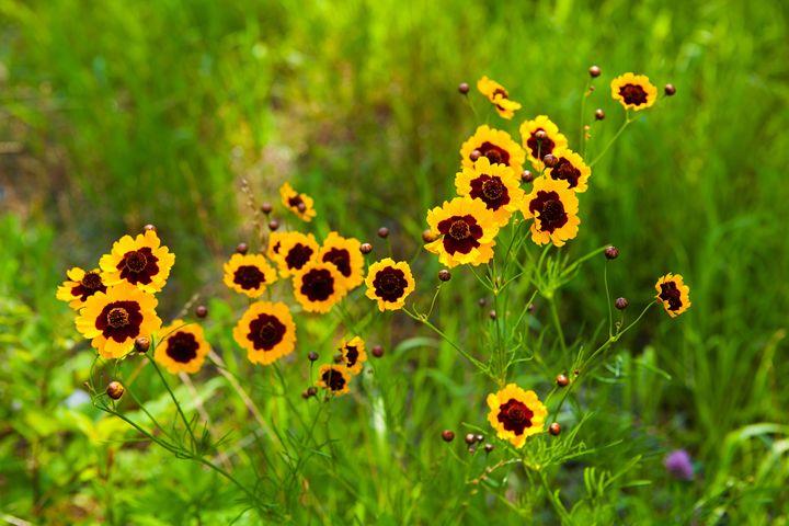 Wild Yellow Poppies - debchePhotography