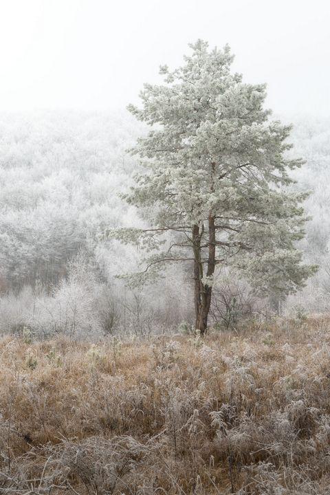 The lone pine tree - Martin Galea photography