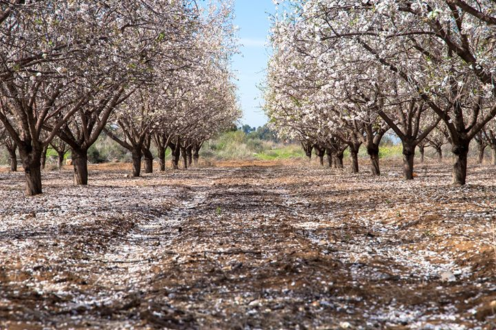 A beautiful field of almond trees bl - gal shoval mashiach