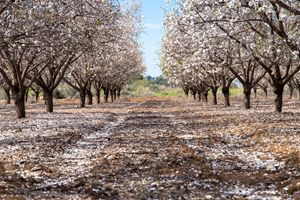 A beautiful field of almond trees bl