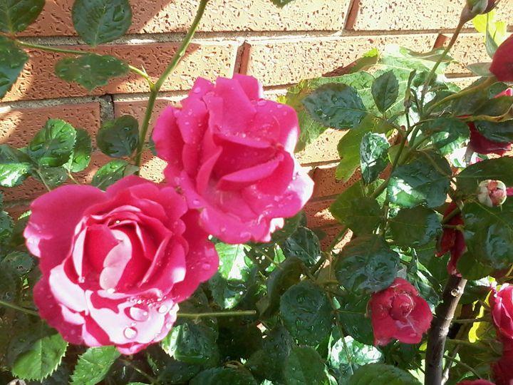 Magenta Roses - Vanessa Schlachtaub Bruni