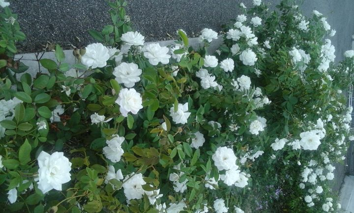 White roses in a car park - Vanessa Schlachtaub Bruni