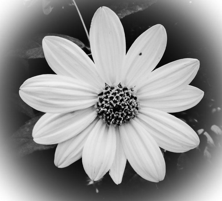 Black and white flower - M.Y.Hauger
