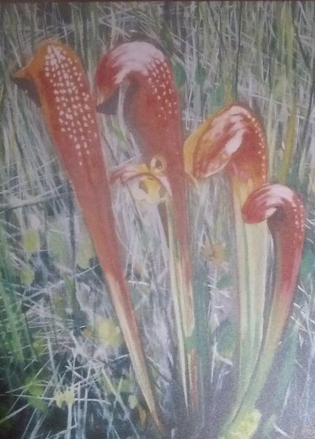 Pitcher Plant - Terry Forrest Fine Art