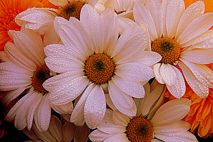 daisies - photography by chrissy woodhouse