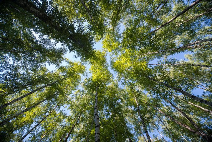 Looking up in the summer forest - Skrotov