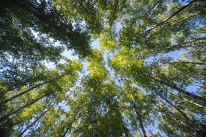 Looking up in the summer forest