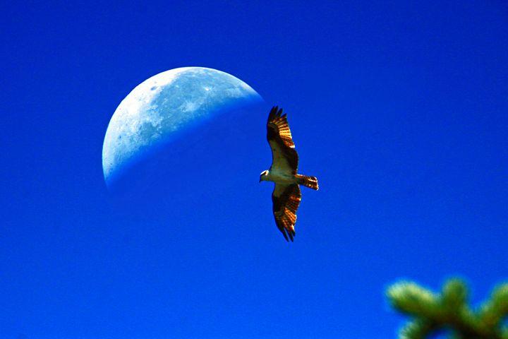Osprey Seahawk flying under the Moon - Gerry Slabaugh Photography