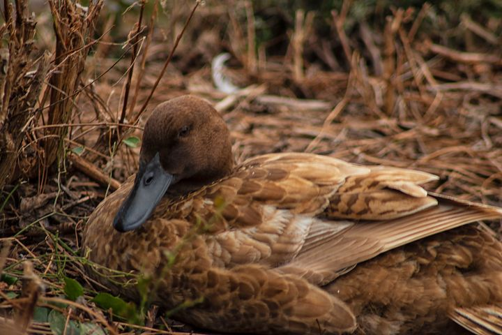 The Resting Duck - Thomas Vasas Photography & Art