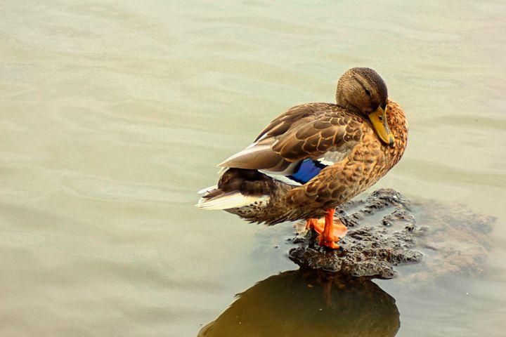 The Mallard Duck - Thomas Vasas Photography & Art