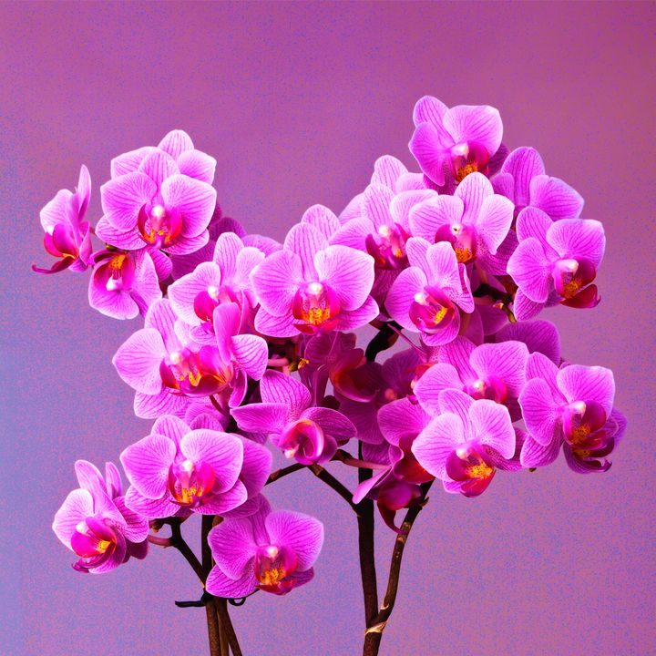 Orchid flowers - Arman