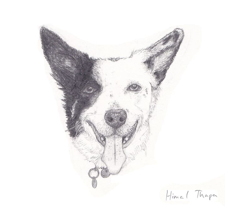 Border Collie - himal3