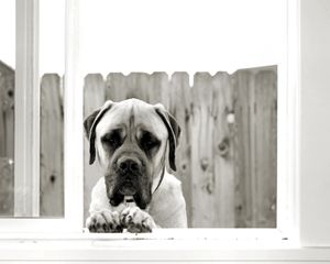Dozer the Mastiff
