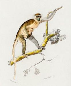 Cercopithecus griseus illustrated