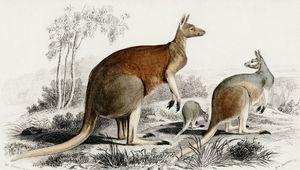 The red kangaroo illustrated