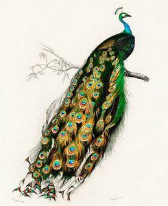 Indian peafowl illustrated