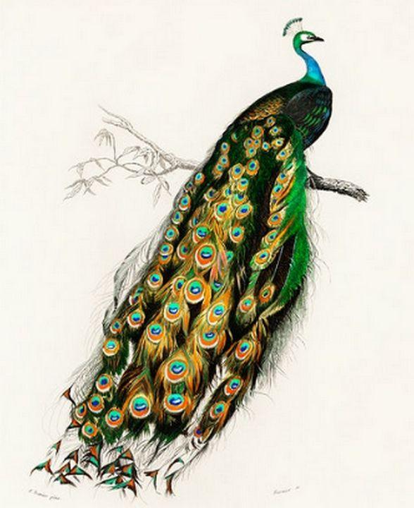 Indian peafowl illustrated - Mutlu