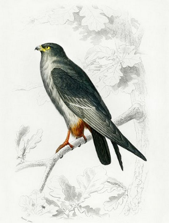 Red-footed Falcon illustrated - Mutlu