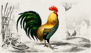 Cock illustrated