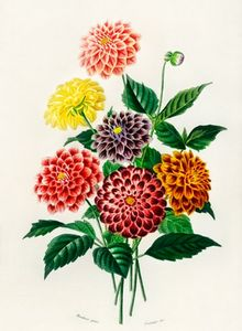 Dahlia illustrated