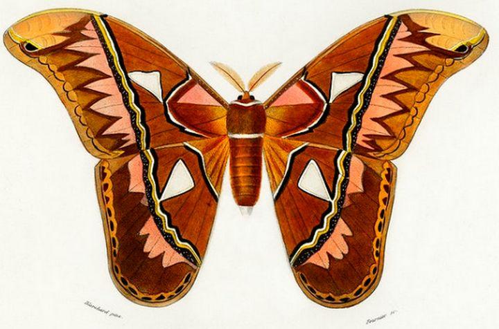 Attacus Atlas Moth illustrated - Mutlu
